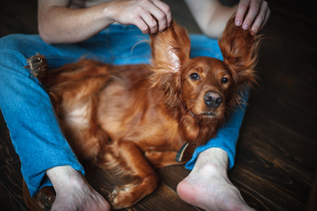 Irish setter on the hands of the owner
