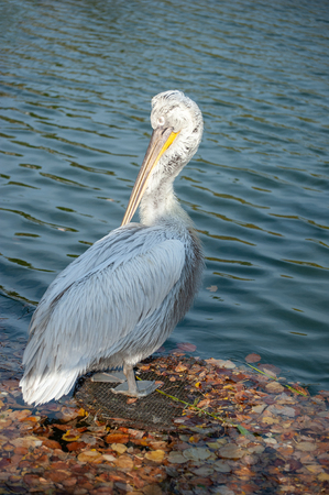 White Pelican with wet feathers on the lake