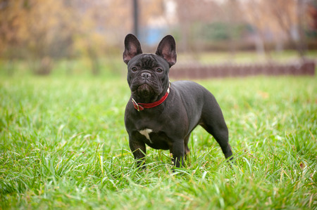 Slender purebred French bulldog in the park