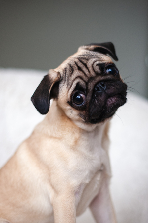 Pug looks carefully, bowing his head
