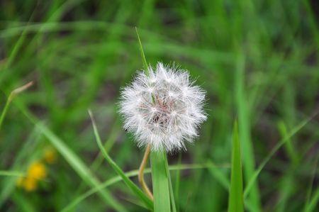 posterity: dandelion blooming