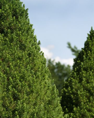 evergreen trees: Green hedge of evergreen trees texture