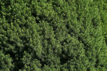 prickle: Green hedge of evergreen trees texture