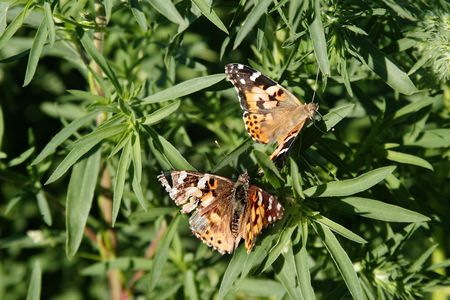 vanessa: Painted lady butterfly (Vanessa virginiensis)  in a field of wild mustard Stock Photo