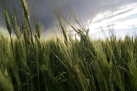 flatland: Prairie Wheat Field Stock Photo