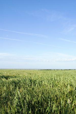 haver veld: Prairie landschap van een haverproducten gebied. Stockfoto