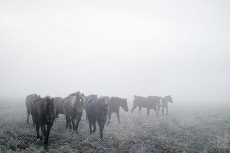 大草原の冬、霧の日に馬。 写真素材