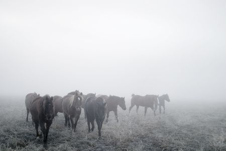 Horses on a foggy day in winter, on the prairie.