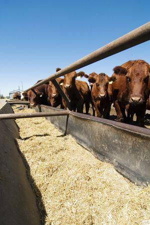 Feeding bunks on a farm in Saskatchewan photo