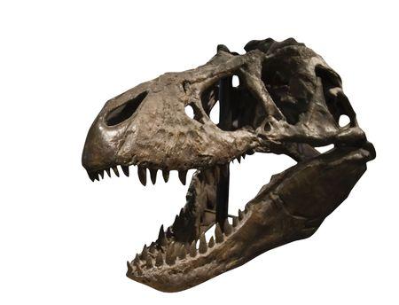 Tyrannosaurus Rex Skull at the T Rex Discovery center, in Eastend, Saskatchewan, Canada photo