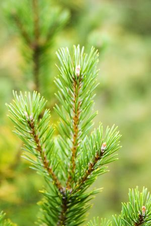 Pine Tree detail, isolated against a forest background photo