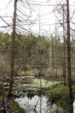 living things: Dead trees and other living things in a marsh near Oslo, Norway Stock Photo