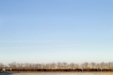 A long row of cattle eating at a feedlot. photo