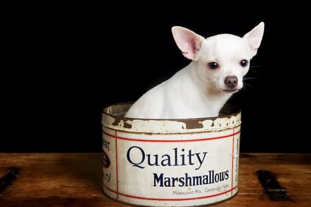 lap dog: A white chihuahua posing for the camera Stock Photo
