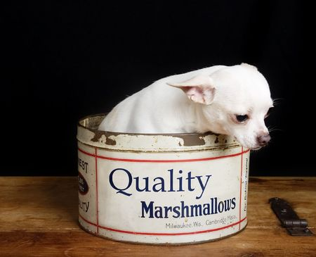 cliche: A chihuahua looking depressed in a retro marshmallow tin. Stock Photo