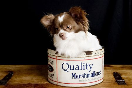 lap dog: A chihuahua posing for the camera in an old fashioned marshmallow tin.