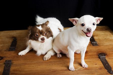 lap dog: A soon-to-be father Chihuahua sitting beside a sceptical pregnant soon-to-be mother chihuahua Stock Photo