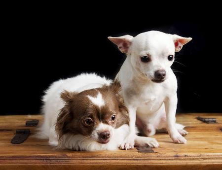 lap dog: A chihuahua couple posing for the camera Stock Photo