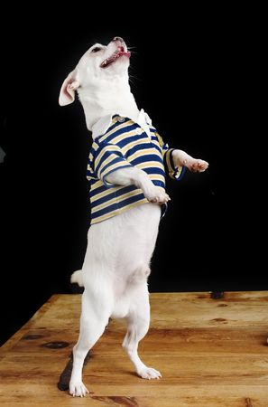 cliche: A chihuahua standing on its back legs.