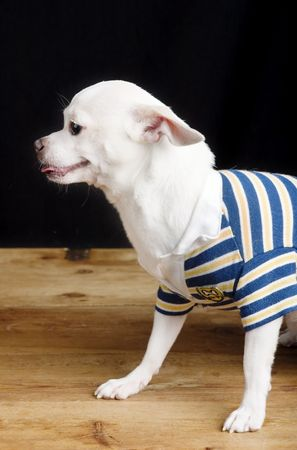 cliche: A male Chihuahua posing for the camera in a striped shirt.