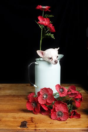 lap dog: A chihuahua posing with some flowers. Stock Photo