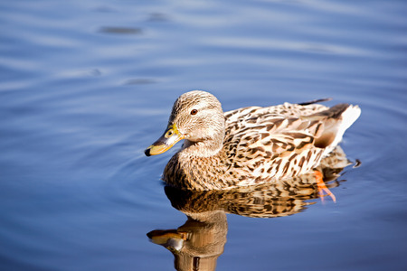 A female mallard duck peacefully swimming; photo