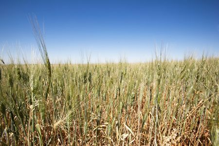 A close up of a wheat field against a large flat horizon photo