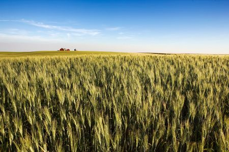 A landscape with wheat and a farm on the horizon Stock Photo - 2348693