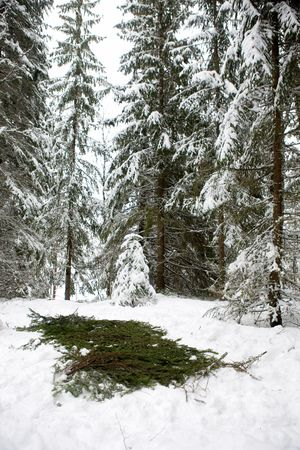 actuary: Spruce branches placed over snow to protect a tent.