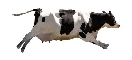 A flying cow isolated on white