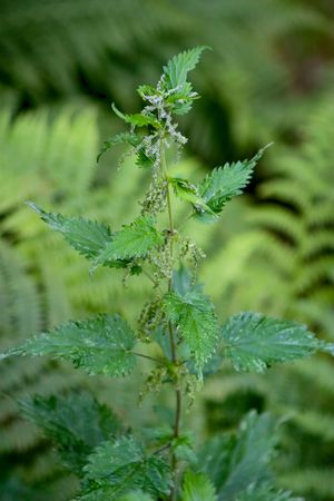 Detail of a wild stinging nettle plant Stock Photo - 2783526