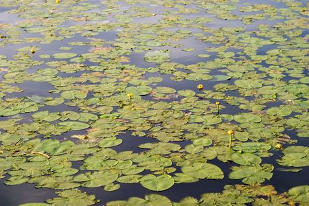 waterlillies: A lily pad background of green lilly pads and a few yellow flowers.