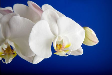 A white orchid over blue - Phalaenopsis Amabilis Moon Orchid photo
