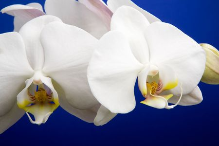 A close up of an orchid flower, Phalaenopsis Amabilis photo