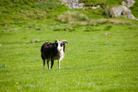 A sheep with horns grazing in the pasture. photo