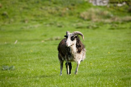 A sheep with horns in a green pasture photo