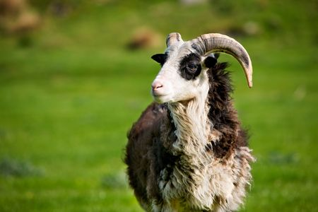 A mountain sheep ram with horns Stock Photo - 3100788