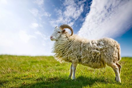 A sheep in a pasture against a blue sky with back lighting. photo
