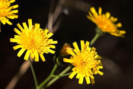 hawkweed: A yellow flower macro - Yellow Hawkweed, latin: Hieracium Pratense