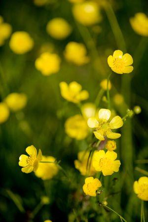 ranunculus: A yellow flower background of buttercup - Latin: Ranunculus bulbosus