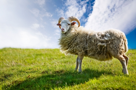 A sheep isolated against a sky photo