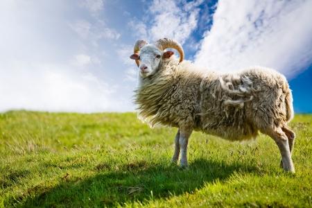 Een schaap geïsoleerd tegen een hemel Stockfoto