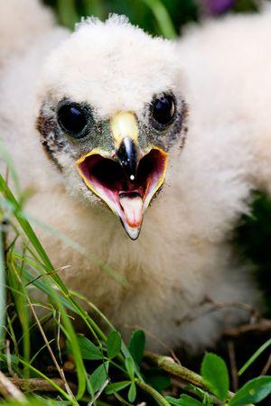 Prairie Falcon chick (Falco mexicanus) in a nest photo