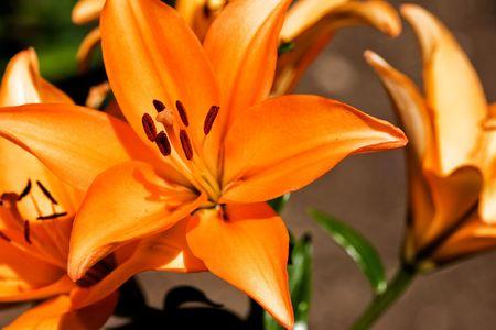 An orange lilly in a garden photo