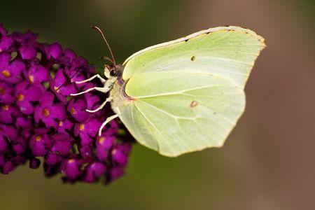 Brimestone Butterfly -  Gonepteryx  rhamni  on a purple summer lilac - buddleja davidii photo