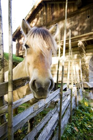 A close up image of a horse in Norway photo