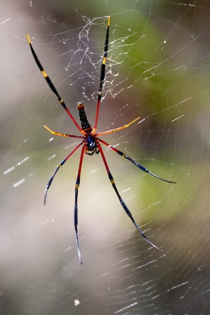arachnoid: A large black and yellow spider waiting in its nest
