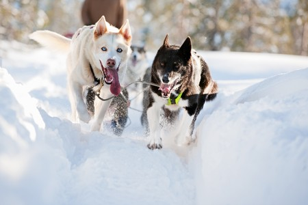 A group of sled dogs running fast Stock Photo - 4431617