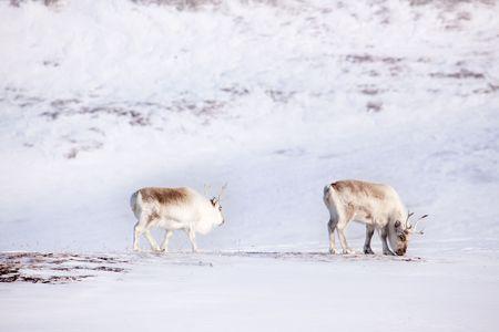svalbard: Two reindeer on the island of Spitsbergen, Svalbard, Norway