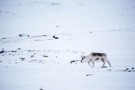A reindeer on the island of Spitsbergen, Svalbard, Norway photo
